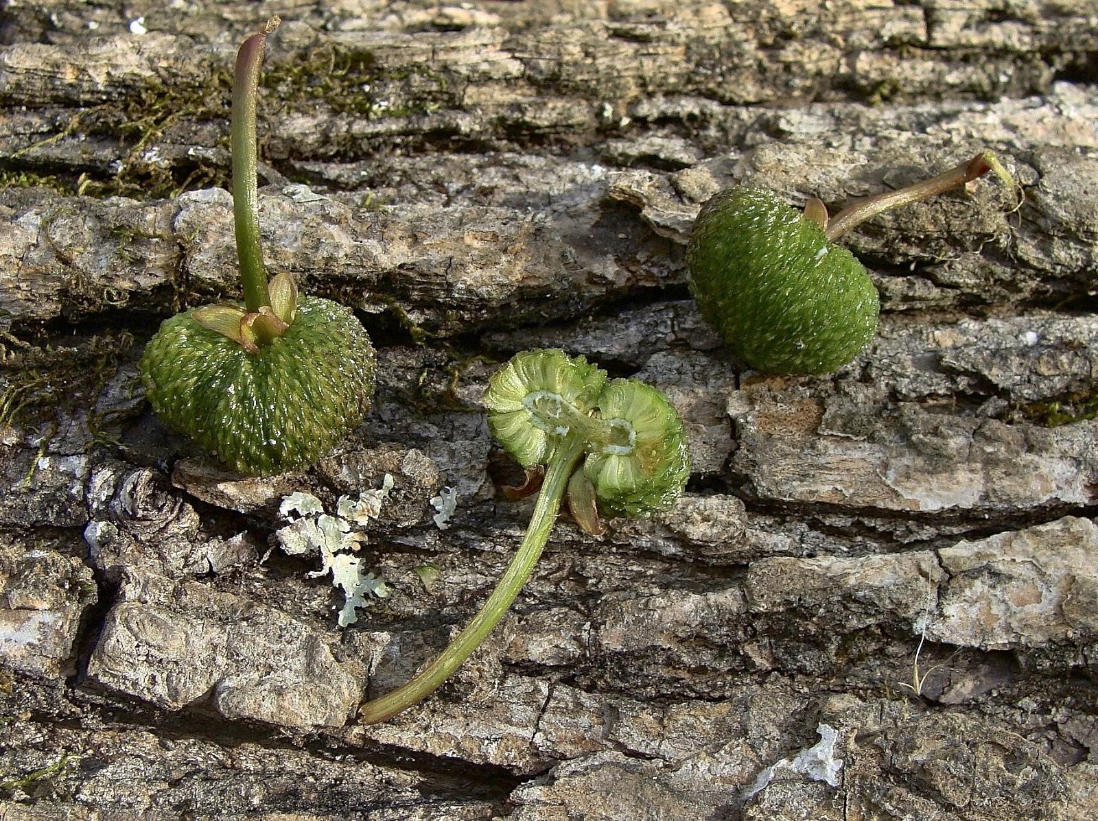 Arrowhead - Sagittaria platyphylla