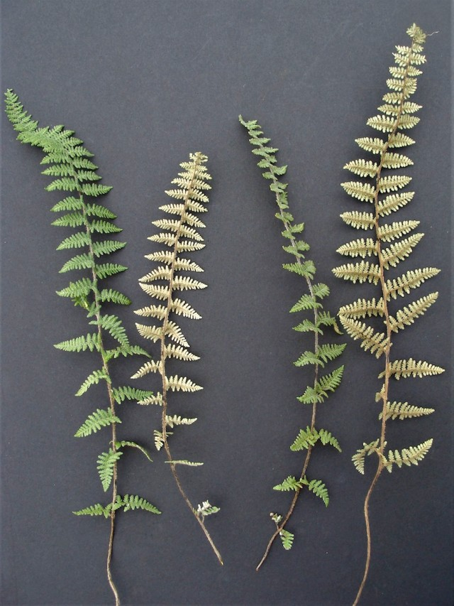 Photo 4: Two infertile fronds are to the left (adaxial and abaxial sides shown). Two fertile fronds are to the right (adaxial and abaxial sides shown). Photo – December 14.