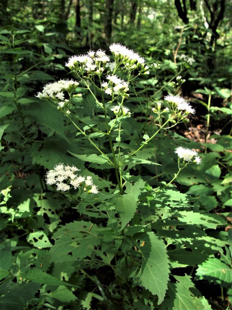 Know Your Natives White Snakeroot Arkansas Native Plant Society