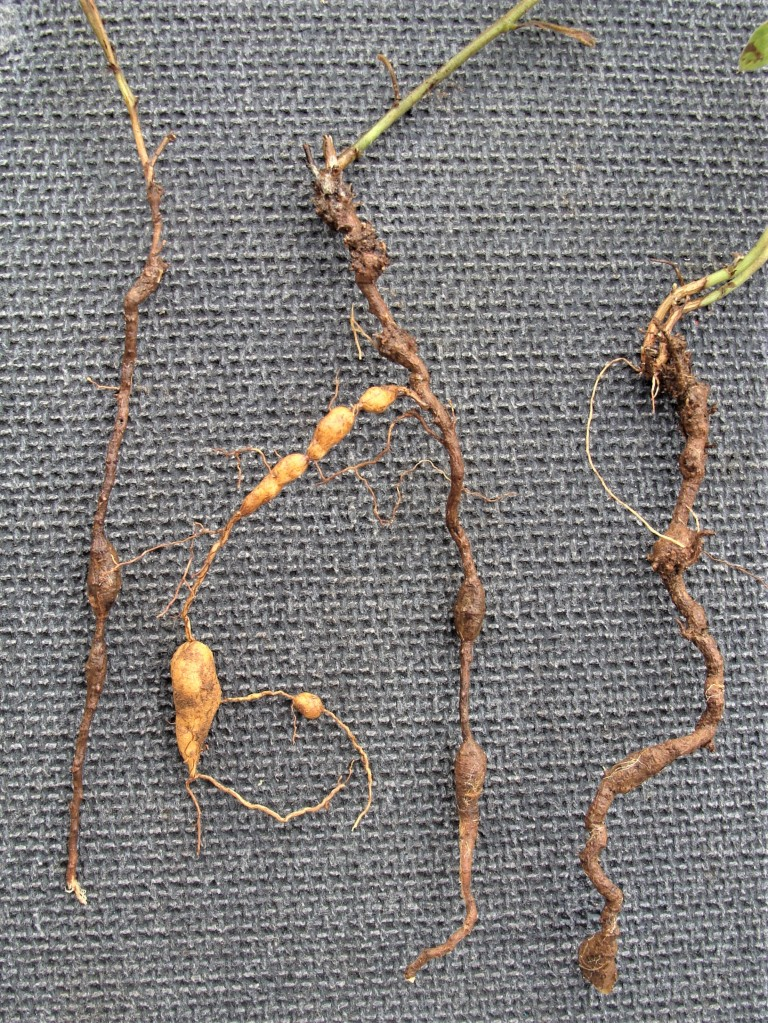 Photo 1: The woody vertical roots are distorted. The center root, with lower portion removed, is 8 inches long.