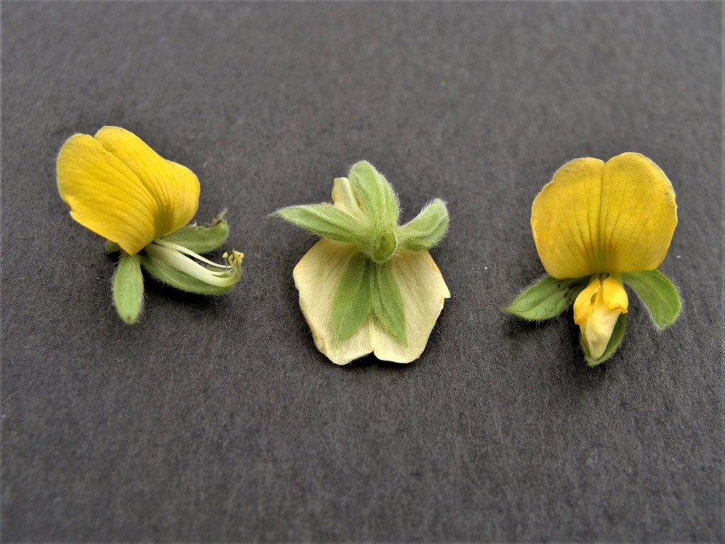 Photo 6: Flowers at center and right are whole while flower at left is shown without wing and banner petals. The free stamen and the staminal tube of the flower at left can be seen (pistil hidden the staminal tube). The position of the five sepals can be seen on flower at center.