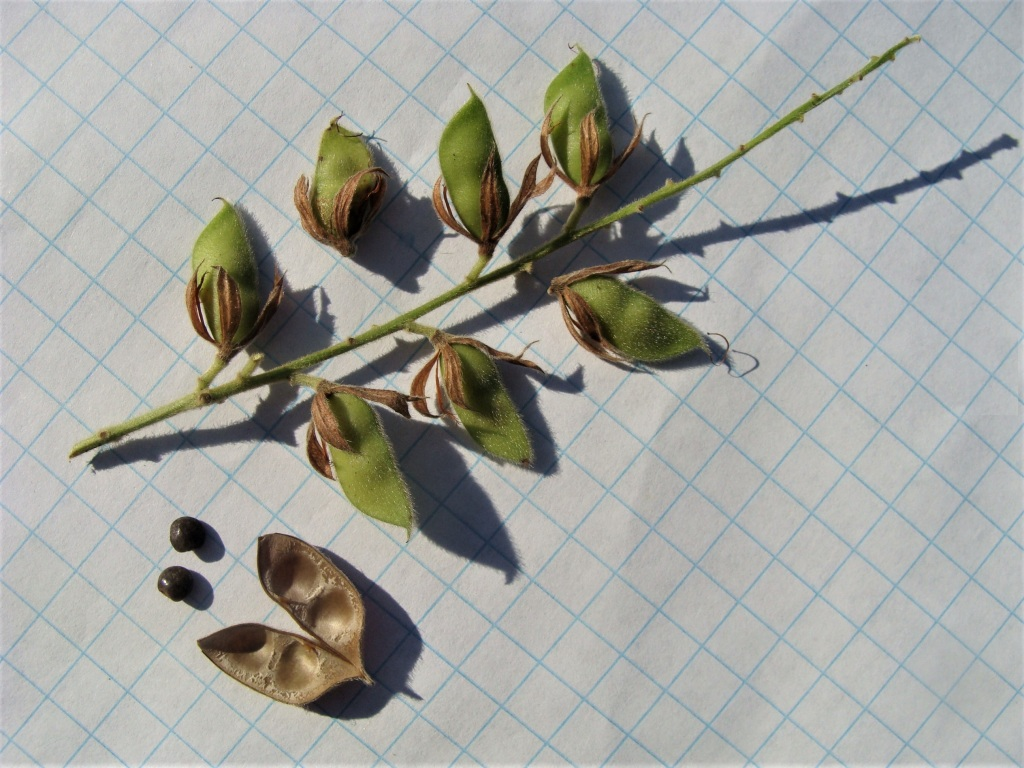 Photo 8: The densely pubescent, beaked pods retain the calyxes. Pods contain 1 or 2 seeds.