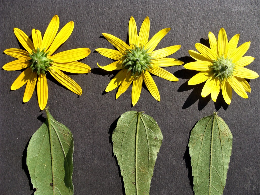 "Photo 8: The ""woodland sunflower"" species can be distinguished by examining involucres and pubescence. Displayed left to right: H. strumosus, H. divaricatus and H. hirsutus. The ""design"" of three primary veins of H. divaricatus and H. hirsutus is similar (laterals join midrib at or near the leaf blade base) as compared to H. strumosus (laterals join above base). Flower head size, although not defining, can be helpful."