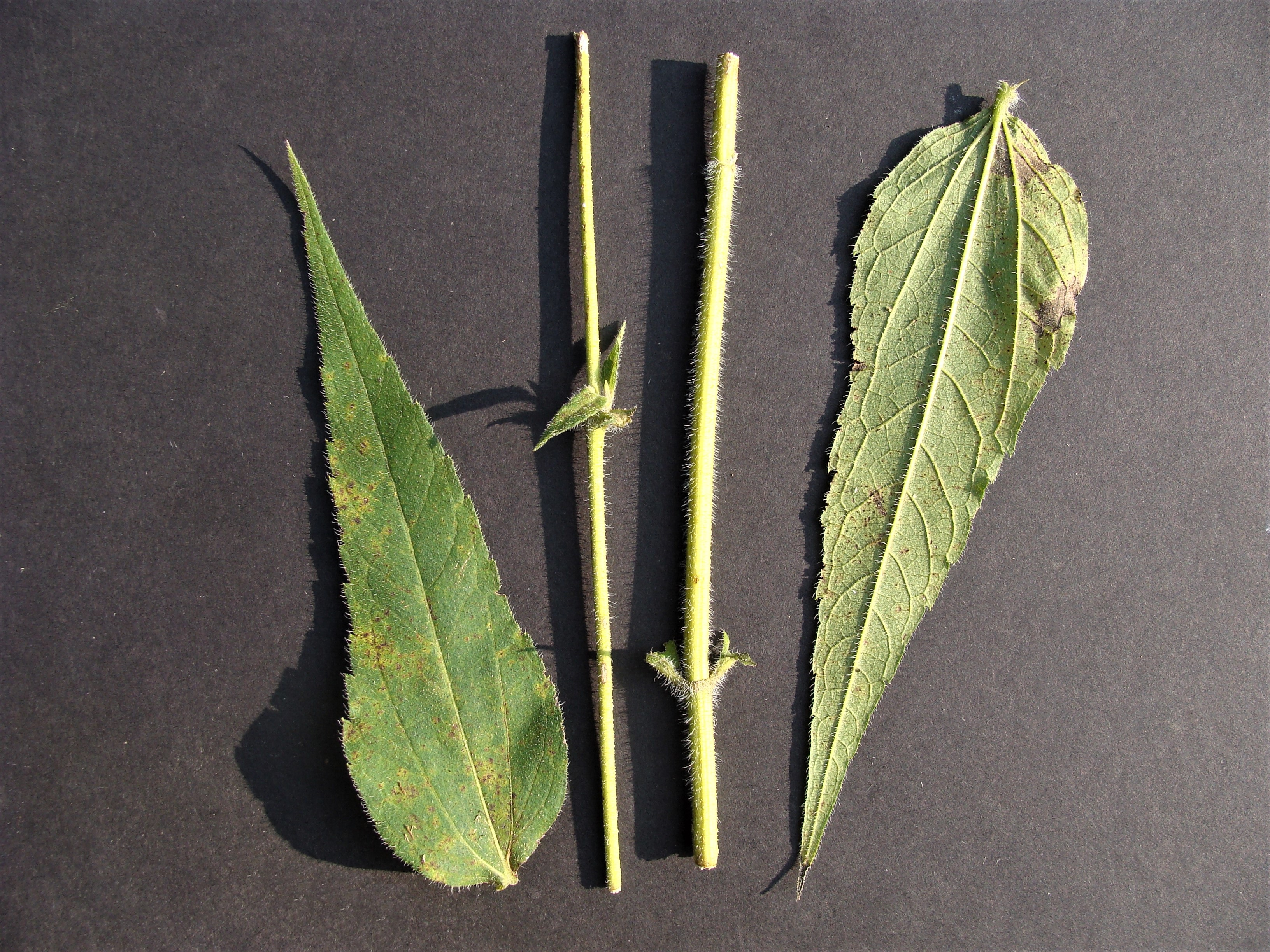 Photo 3: Display showing upper and lower leaf surfaces along with a lower and upper portion of a stem. Primary lateral veins originate off midrib at leaf blade and petiole junction. Stems and both sides of leaves are hairy.
